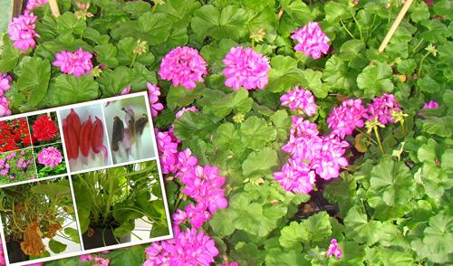 Científicos valencianos logran producir geranios sin polen