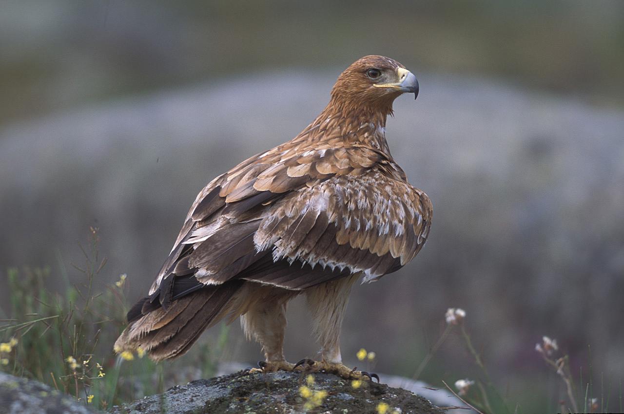 ¡Águila imperial, saluda a la cámara! Estamos en directo