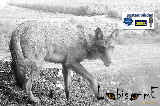 Avistar lobos sin dejar huella