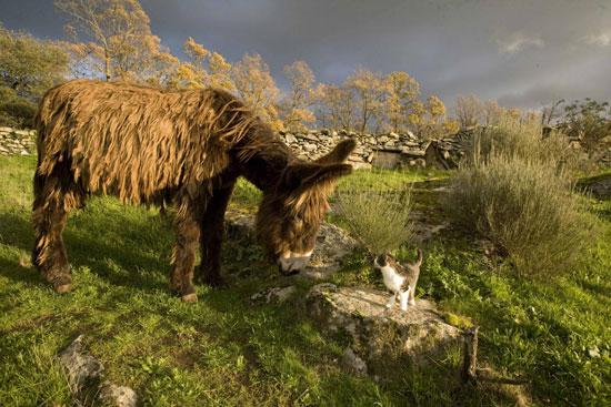 Asnos-contra-lobos-El-Mundo-ecologico