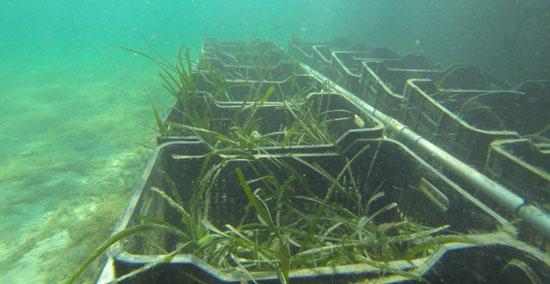 Cultivar Posidonia para repoblar el Mediterráneo