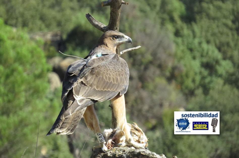 Life Bonelli ayuda al águila perdicera a remontar el vuelo
