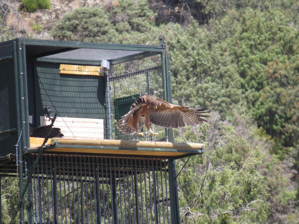 Un águila de Bonelli o águila perdicera se ejercita para el vuelo en el hacking instalado para la especie en la Sierra Oeste de Madrid.