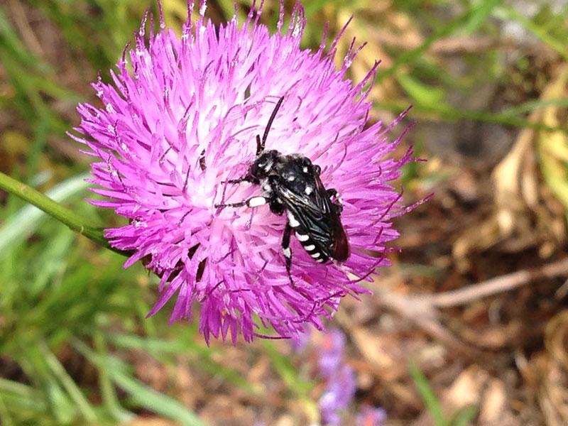 Abeja Melecta curvispina silveste polinización abejas de la miel ecoflor AEET