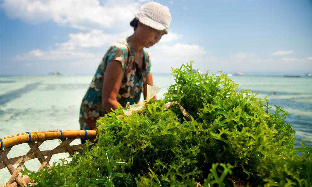 certificación algas marinas msc