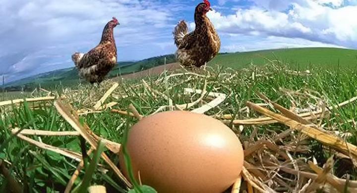 """Diferencias entre huevos eco y """"convencionales"""""""