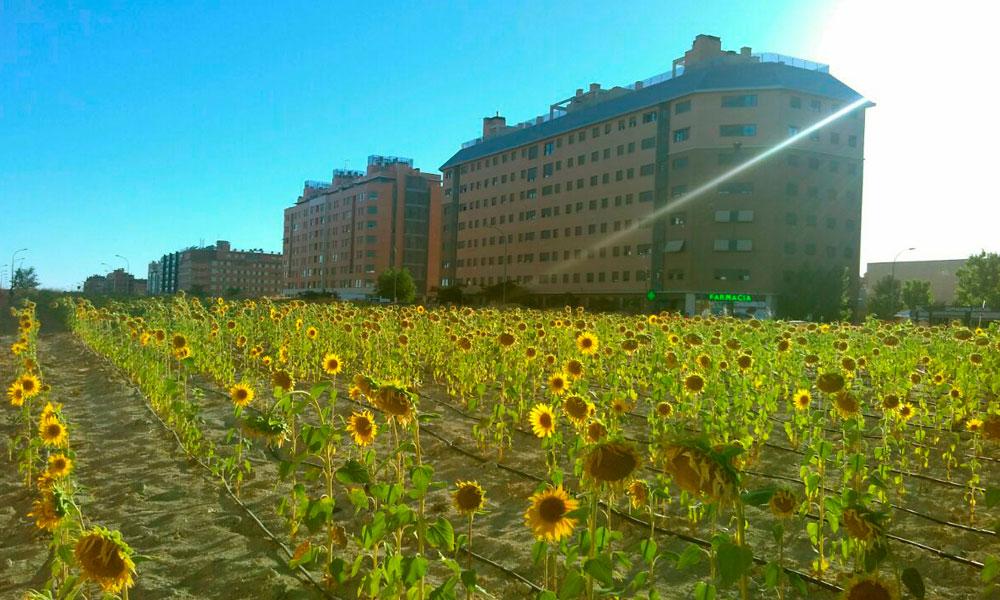 Los girasoles ocupan el paisaje urbano