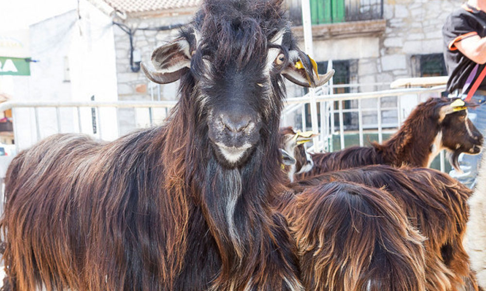 El Ayuntamiento de El Boalo, Cerceda y Mataelpino pone en marcha un rebaño municipal de cabras guadarrameñas lobo ibérico