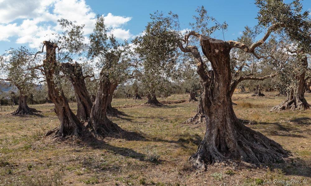 Apadrinaunolivo.org El Mundo Ecologico apadrinar olivos Oliete Teruel Cadena SER