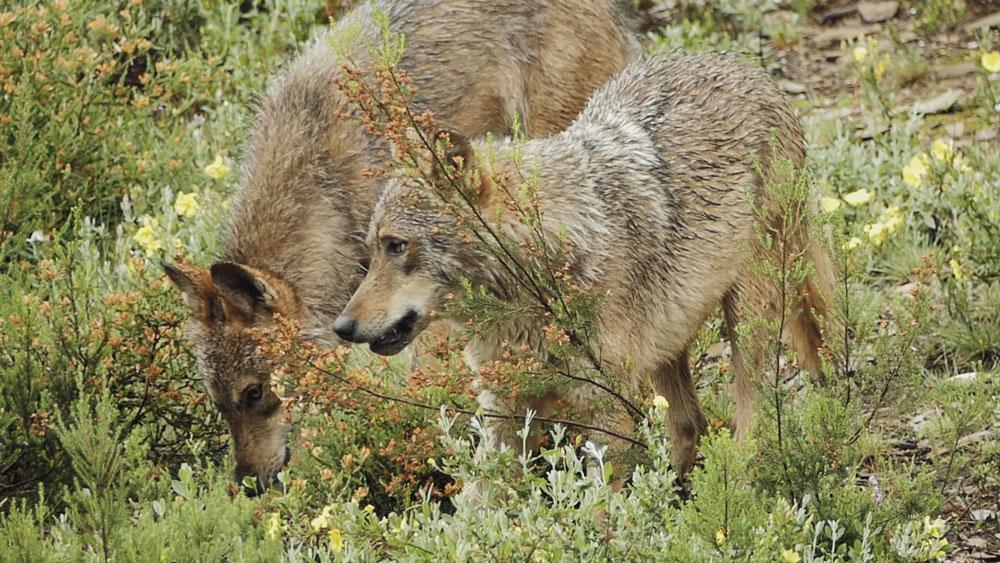"""""""El lobo y el hombre"""", un documental sobre los retos de la gestión del lobo en España"""