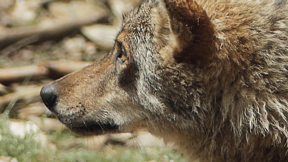 Fundación Artemisan gestión caza Lobo ibérico el mundo ecologico