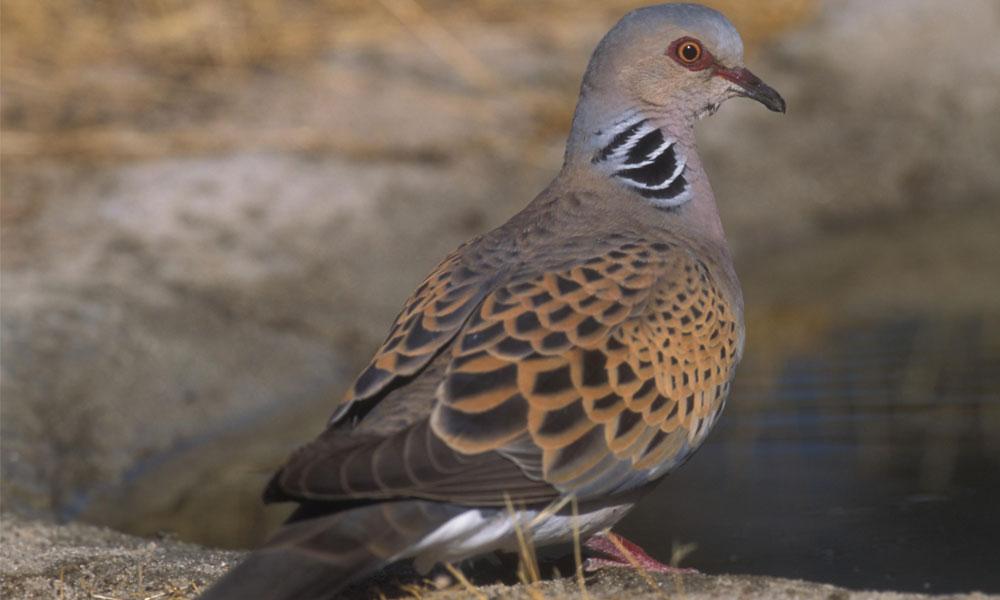 Tórtola europea casa media veda peligro especies