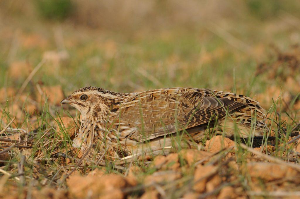 Caza media veda España Especies en peligro SEO Birdlife Codorniz común Foto Juan Becares