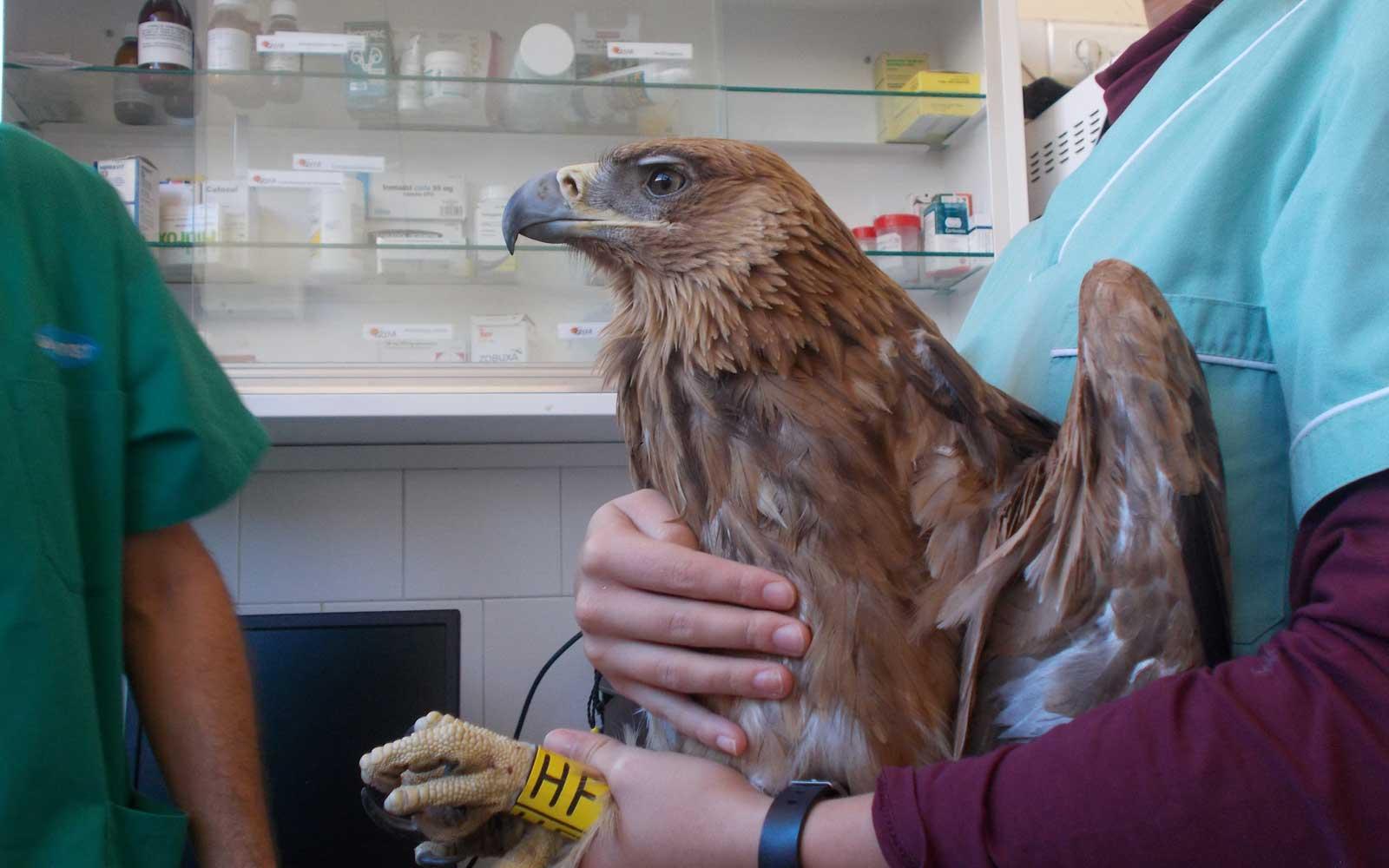 Águila imperial joven en enfermería hospital GREFA