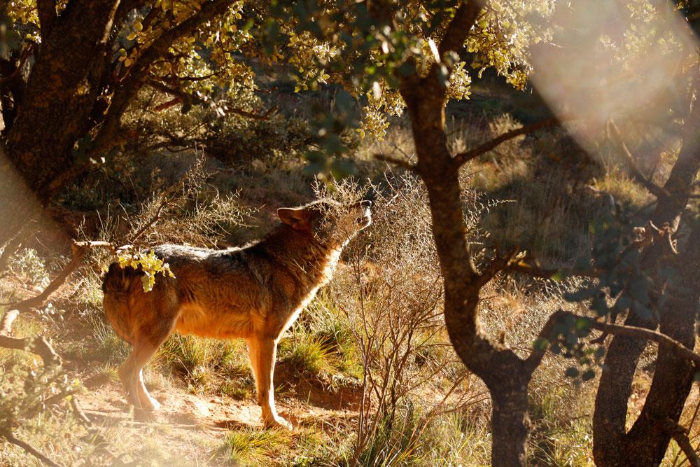 GREFA Pastando con lobos Zamora Ovejas