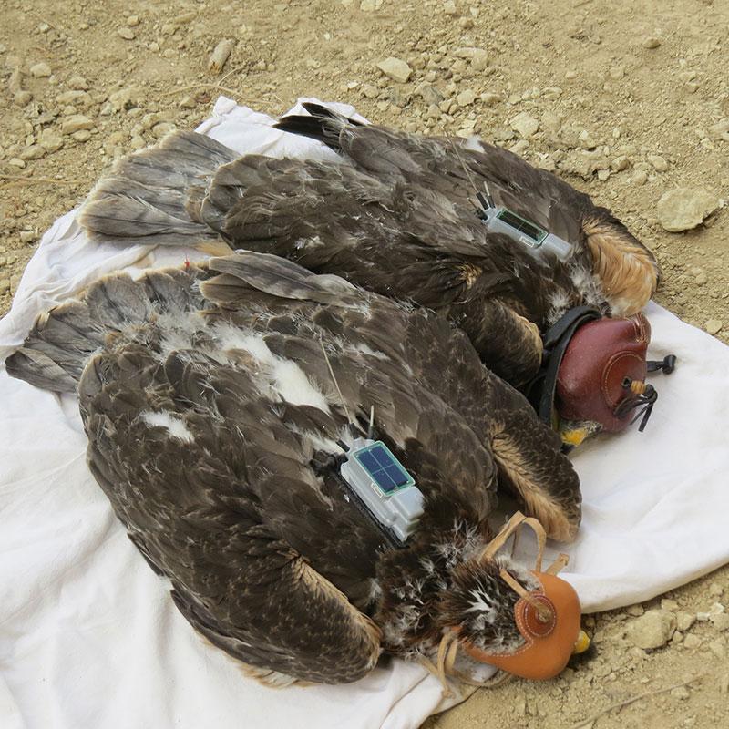 Águila de Bonelli Grefa Sicilia