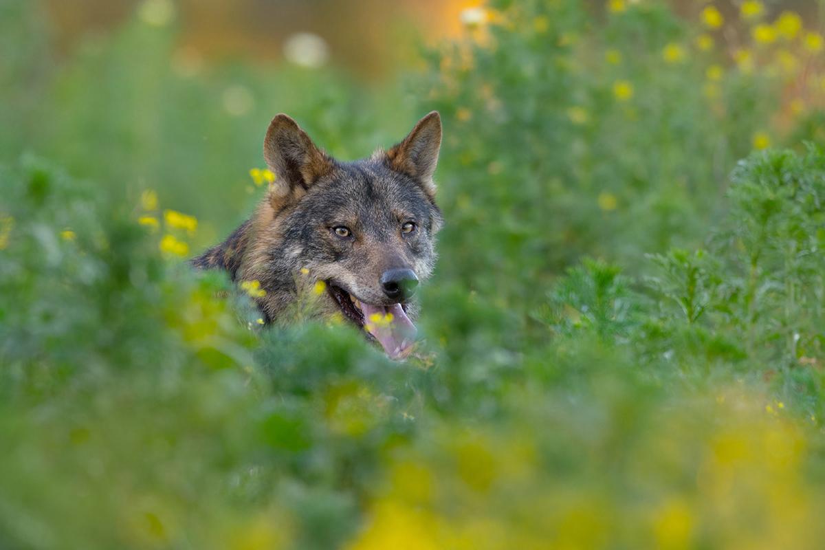 Barbacana la huella del lobo película Arturo Menor prevención ataques lobos