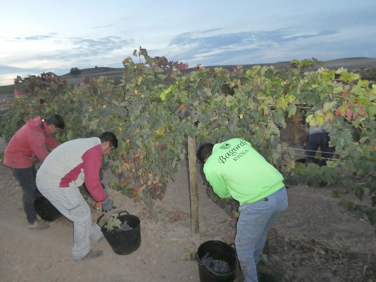 Vino ecológico La Rioja Bodegas Bagordi vendimia