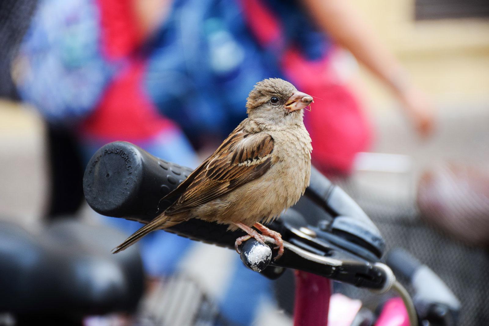 desaparición del Gorrion-comun de las ciudades SEO Bird Life