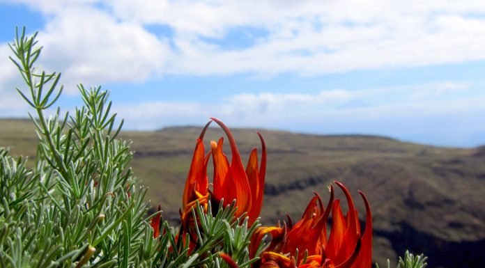 Nueva planta descubierta en España pico de paloma de La Gomera Ana Portero