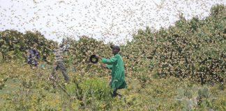 Plaga langosta en Africa en Somalia y Etiopía