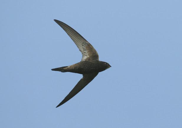 migración del vencejo común