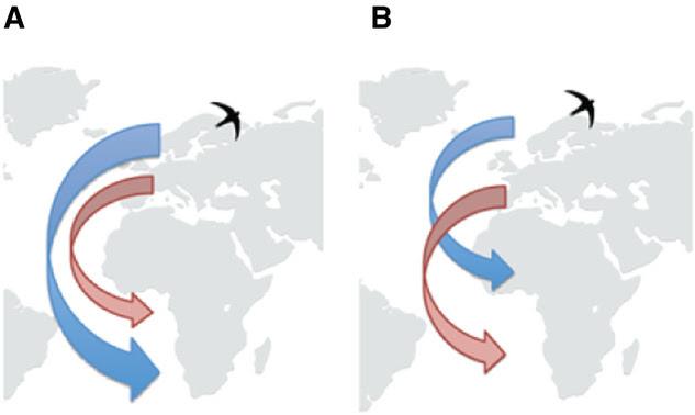 cadena de migración del vencejo común