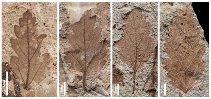 Fósiles hojas extinción plantas
