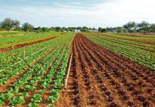 cultivo ecológico de lechugas