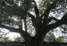las encinas árbol del año