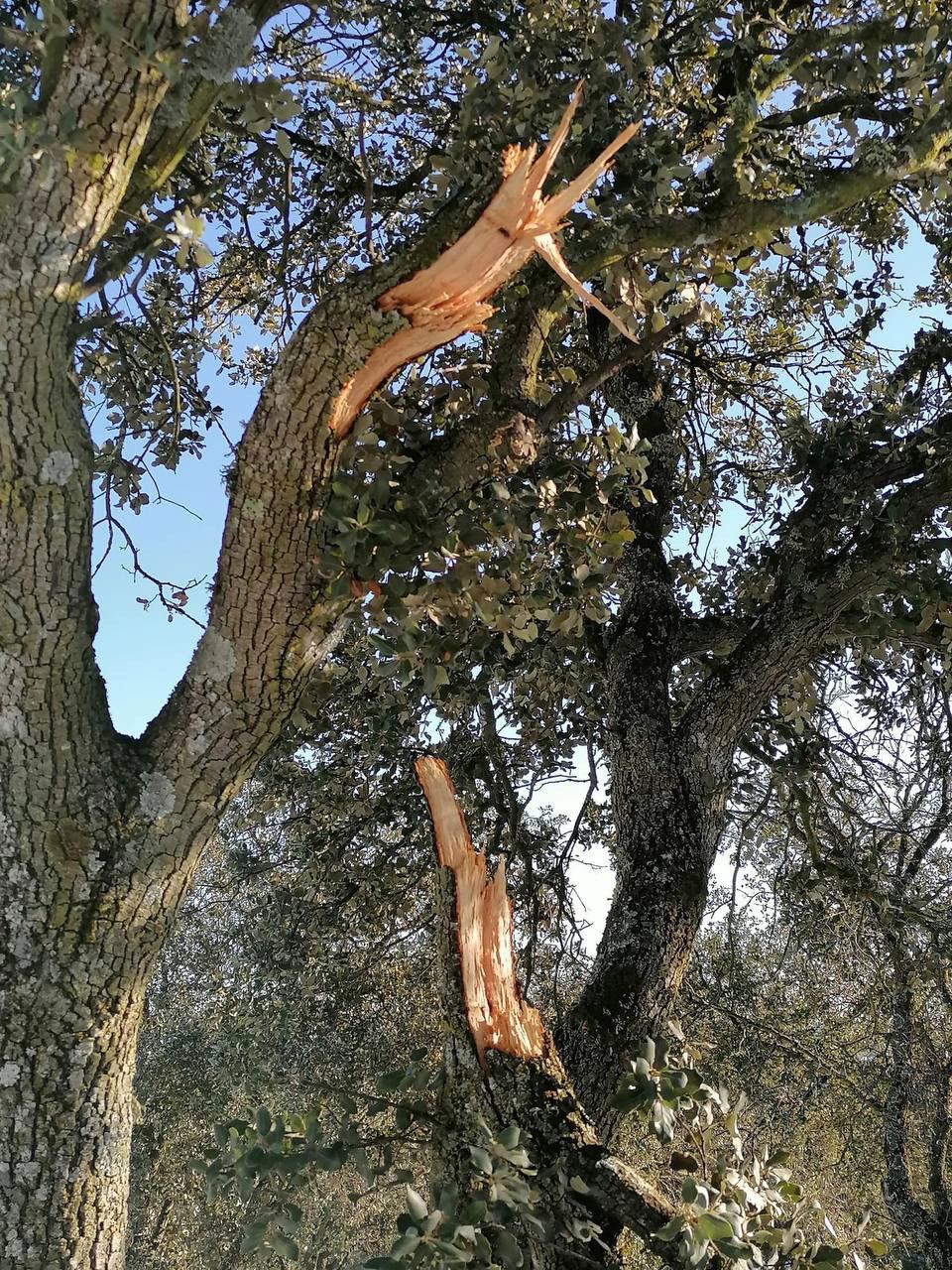 encina afectada por Filomena en la Dehesa Boyal San Sebastián de los Reyes