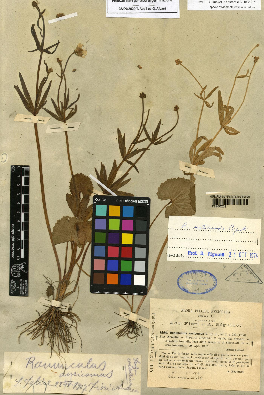 Ranunculus mutinensis Pignatti