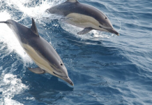 Delfín común del golfo de Bizkaia