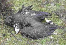 Buitre negro envenenado