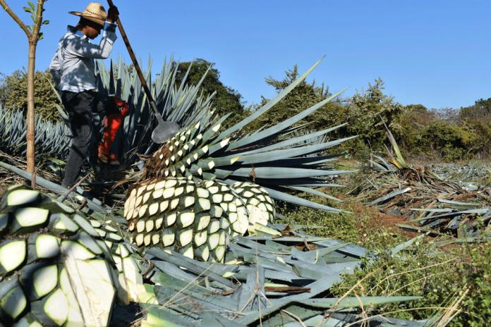 Tequila contra la deforestación