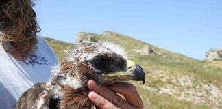 Pollo de águila de Bonelli