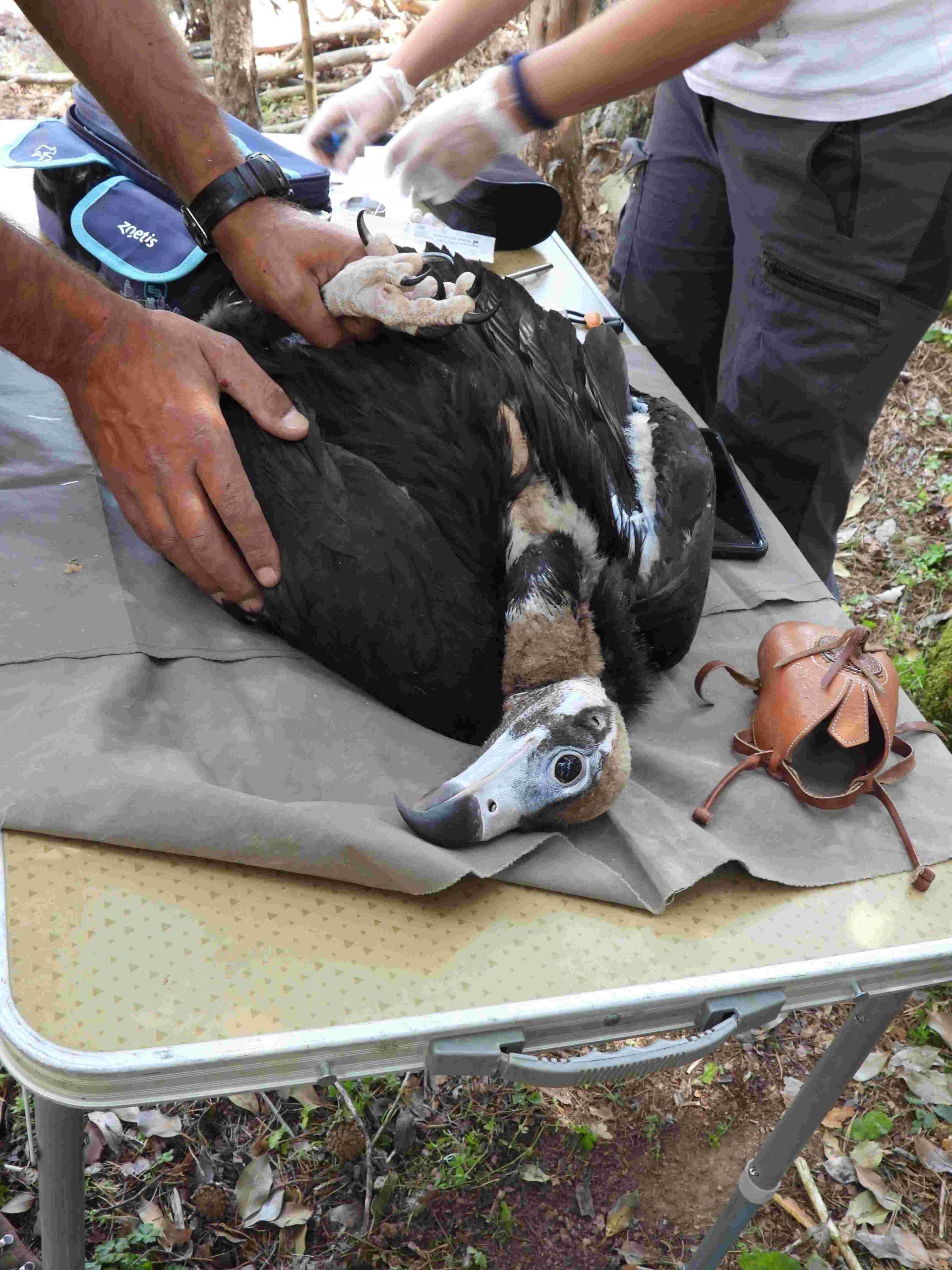 Buitre negro Ecologistas en Accion Sierra de la Demanda