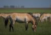 caballos salvajes przewalski microsoft