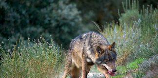 El lobo ibérico no podrá ser cazado en España